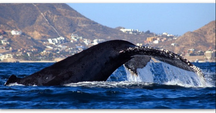 Whale watching San Jose del Cabo